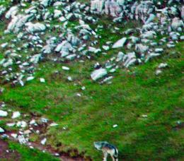 Torna el llop al Pirineu